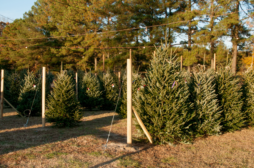 Holiday Christmas trees being sold on a lot