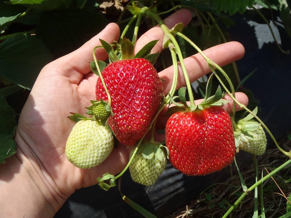 strawberry hill usa cooley farms south carolina