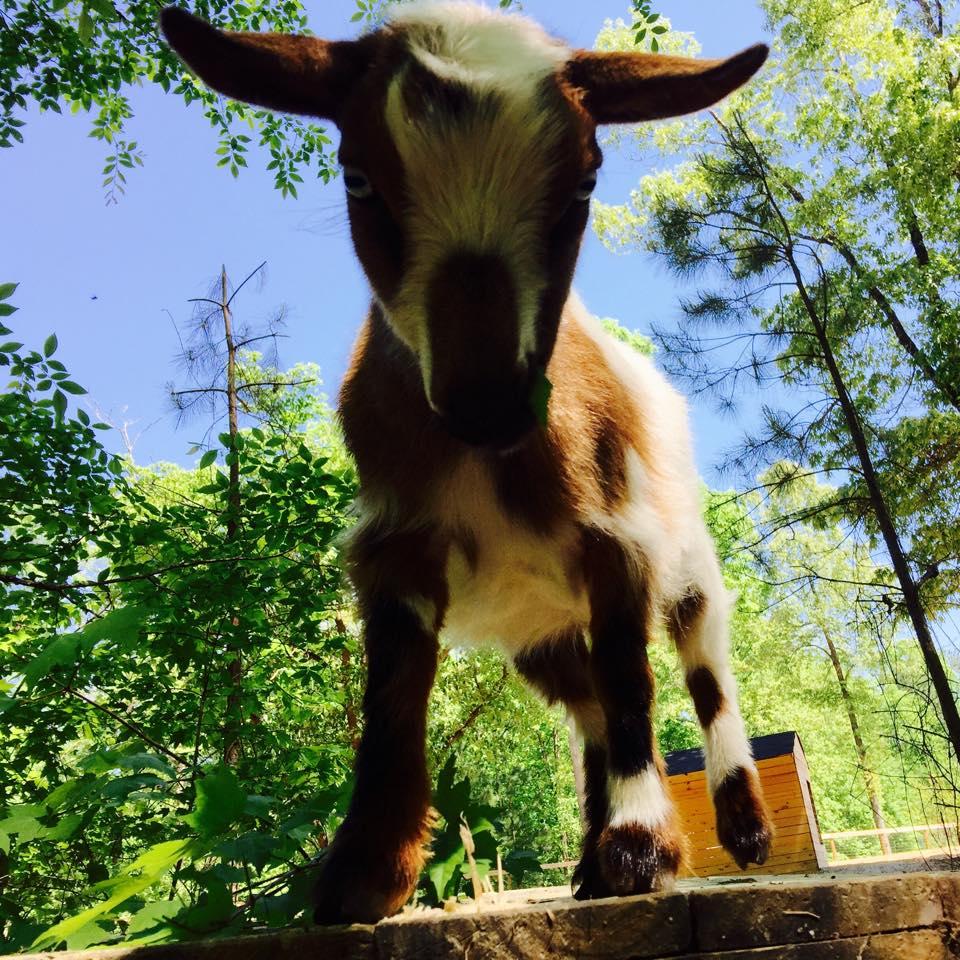 Goat Daddy's Farm Ltd  Co  - South Carolina Department of