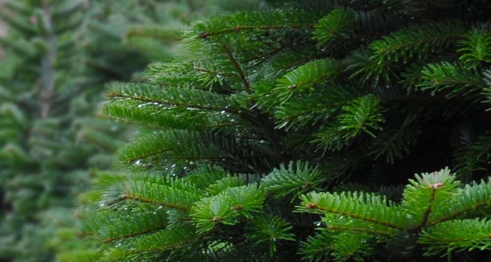 Description: We are a family owned Christmas Tree Farm in Walterboro, SC.  Join us to cut your own tree or buy a pre-cut Fraser Fir! - Smiling Bear Christmas Tree Farm - South Carolina Department Of