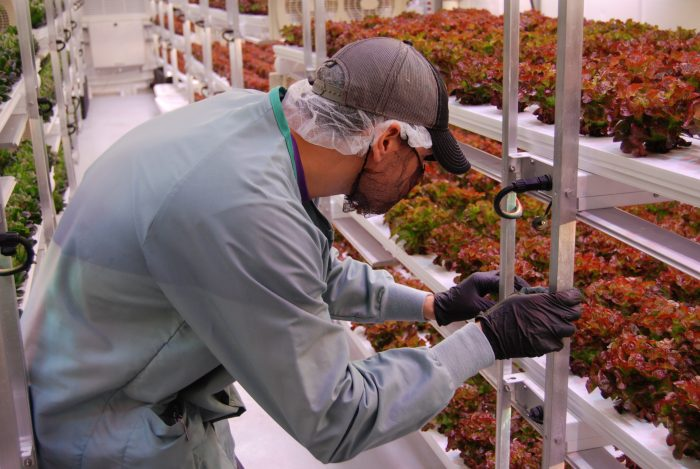 Chris Reyna examines lettuces at Vertical Roots' West Columbia facility. Photo by Eva Moore