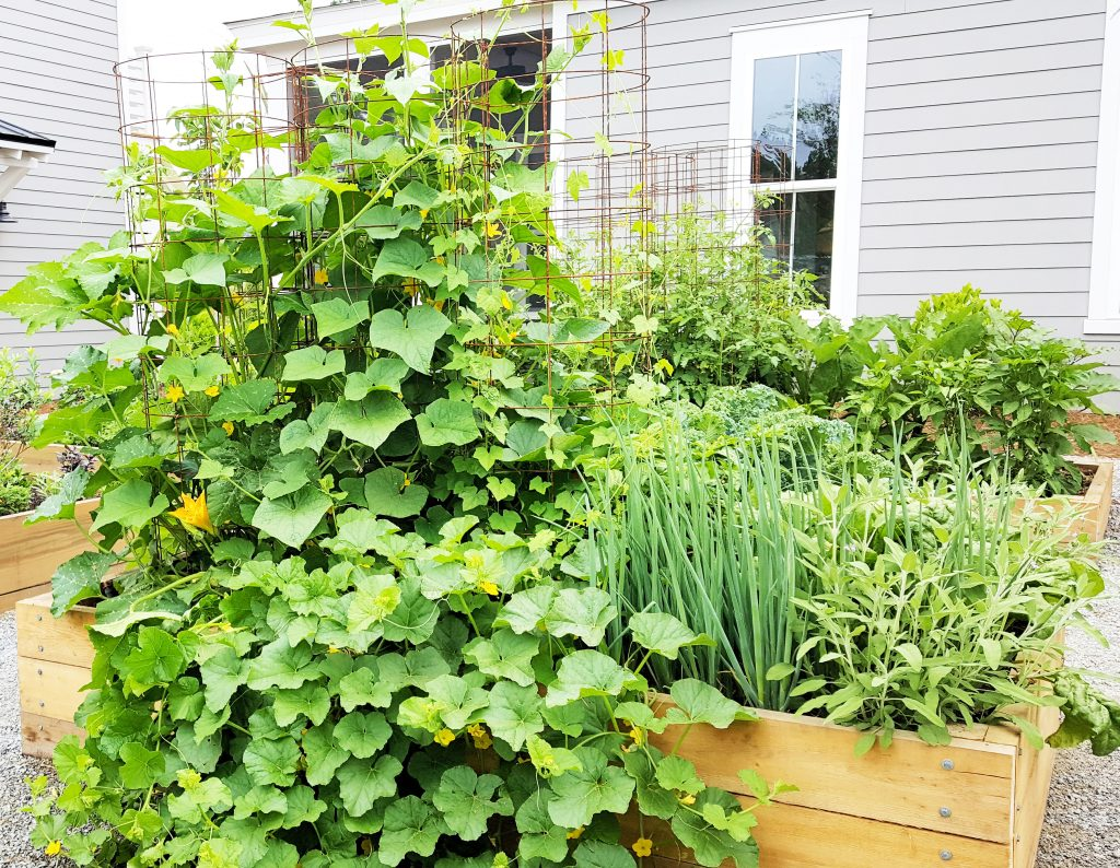 A raised garden bed of cucumbers